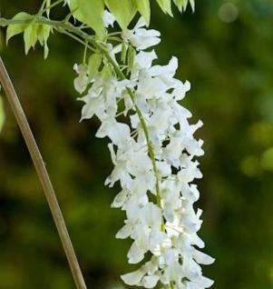 Weißer Chinesischer Blauregen 40-60cm - Wisteria sinensis - Vorschau