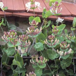 Jelängerlelieber 40-60cm - Lonicera caprifolium - Vorschau