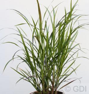 Chinaschilf Brazil - XXXL Topf - Miscanthus sinensis - Vorschau