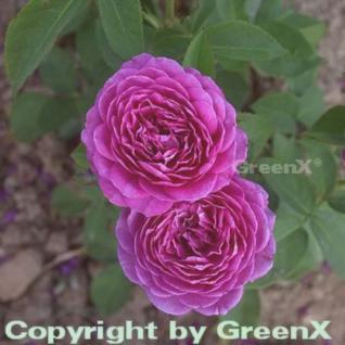 Floribundarose Heidi Klum Rose 30-60cm - Vorschau