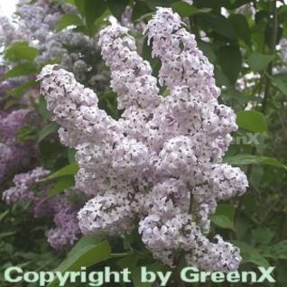 Wildflieder 60-80cm - Syringa vulgaris - Vorschau
