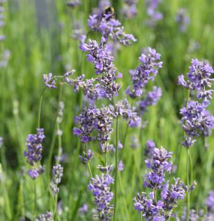 Echter Lavendel Munstead - Lavandula angustifolia - Vorschau