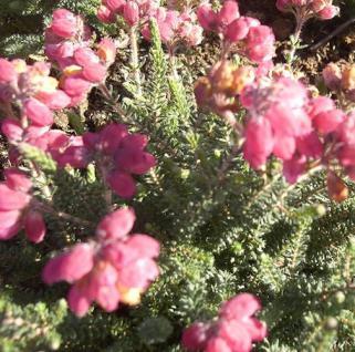10x Glockenheide Samtpfötchen - Erica tetralix - Vorschau