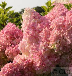 Rispenhortensie Vanille Fraise® 100-125cm - Hydrangea paniculata - Vorschau