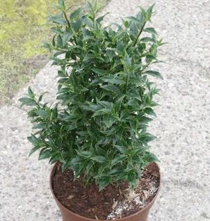 Myrtenblättriger Ilex 30-40cm - Ilex aquifolium - Vorschau