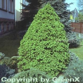 Zuckerhut Fichte 50-60cm - Picea glauca - Vorschau
