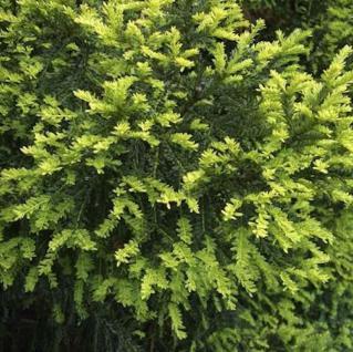 Gelbe Eibe 60-80cm - Taxus baccata Aurea - Vorschau