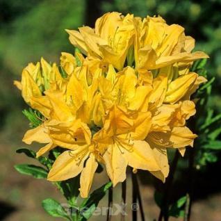 Chinesische Azalee Mollis 50-60cm - Rhododendron yakushimanum - Vorschau