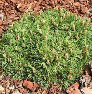 Zwerg Hakenkiefer Grüne Welle 20-25cm - Pinus uncinata - Vorschau