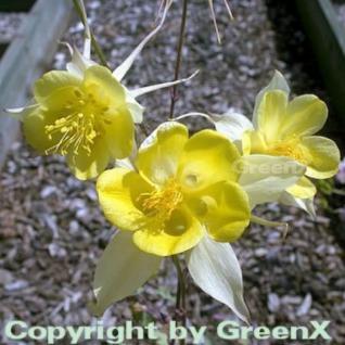 Akelei Yellow Queen - Aquilegia chrysantha - Vorschau