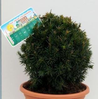 Kugelschnitt Eibe Westerstede 25-30cm - Taxus baccata - Vorschau