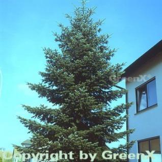 Nordmannstanne 80-100cm - Abies nordmanniana - Vorschau
