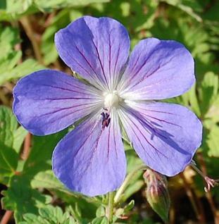 Himalayastorchschnabel Alpinum - Geranium himalayense - Vorschau