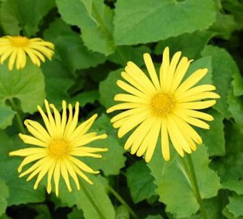 Gemswurz Magnificum - Doronicum orientale - Vorschau