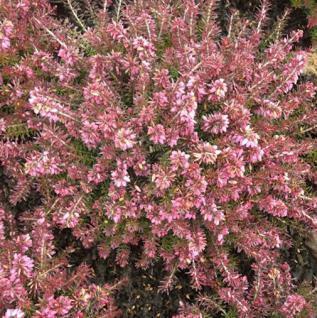 10x Winterheide Vivellii Aurea - Erica carnea - Vorschau