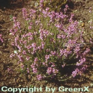 10x Grauheide Cevennes - Erica cinerea - Vorschau