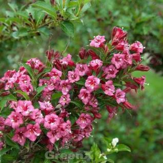 Weigelie Bouquet Rose 60-80cm - Weigela florida - Vorschau