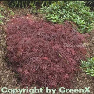 Dunkelroter Schlitz Ahorn Garnet 30-40cm - Acer palmatum - Vorschau