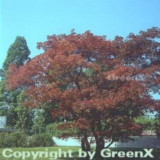 Roter Fächerahorn 80-100cm - Acer palmatum Atropurpureum - Vorschau