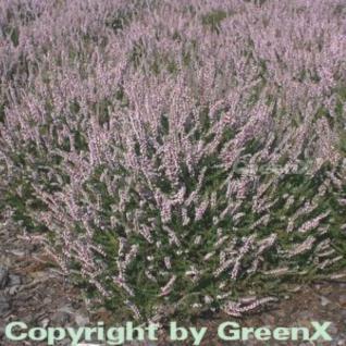 10x Besenheide Elsie Purnell - Calluna vulgaris - Vorschau