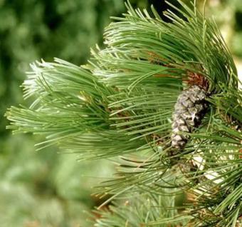 Schlangenhautkiefer Panzerkiefer Compacta 25-30cm - Pinus leucodermis - Vorschau