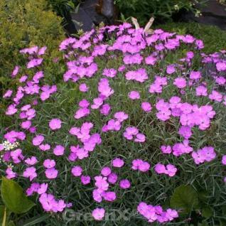Pfingstnelke Blauigel - Dianthus gratianopolitanus - Vorschau