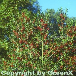 Garten Stechpalme Ilex 60-80cm - ilex aquifolium - Vorschau