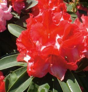 Großblumige Rhododendron Wilgen Ruby 25-30cm - Alpenrose - Vorschau