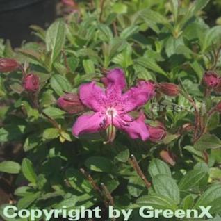 Zwerg Rhododendron camtschaticum 20-25cm - Rhododendron camtschaticum - Vorschau