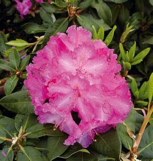 Großblumige Rhododendron Anastasia 30-40cm - Alpenrose - Vorschau