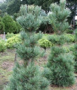 Kompakte Säulen Kiefer Pillar 25-30cm - Pinus cembra - Vorschau