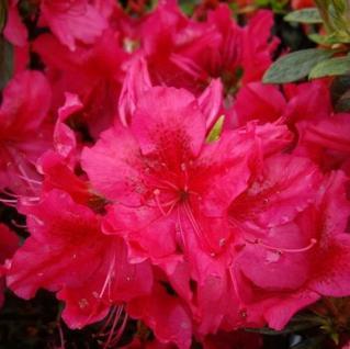 Japanische Azalee Stopplicht 15-20cm - Rhododendron obtusum - Zwerg Alpenrose - Vorschau