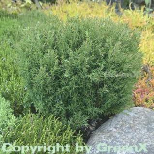 Kuschellebensbaum Teddy 25-30cm - Thuja occidentalis - Vorschau