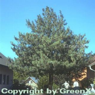 Tränenkiefer 60-80cm - Pinus wallichiana - Vorschau