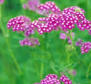 Schafgarbe Sammetriese - Achillea millefolium - Vorschau