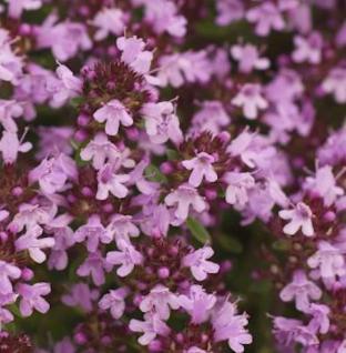 Breitblättrige Thymian - Thymus pulegioides - Vorschau