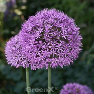 Zierlauch Stratos - Allium cultorum - Vorschau