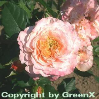 Hochstamm Rose Augusta Luise® 80-100cm - Vorschau