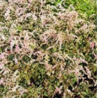 Prachtspiere Bronce Elegans - Astilbe simplicifolia - Vorschau