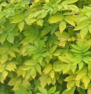Schwarzer Holunder Aurea 60-80cm - Sambucus nigra - Vorschau