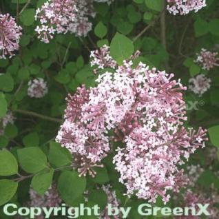 Hochstamm Herbst Flieder Superba 80-100cm - Syringa microphylla - Vorschau