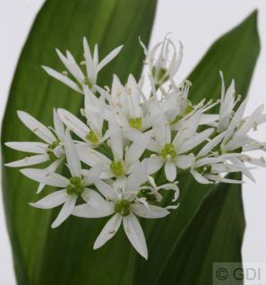 Zierlauch weiß Bärlauch - Allium ursinum - Vorschau