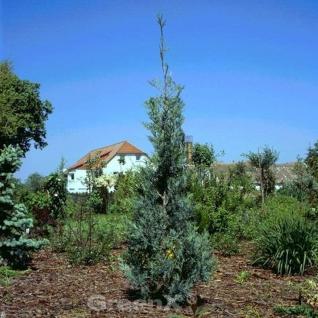 Säulenwacholder Wichita Blue 60-80cm - Juniperus scopulorum - Vorschau