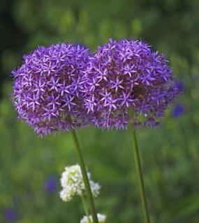 Zierlauch His Excellency - Allium cultorum - Vorschau