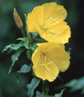 Hohe Nachtkerze - Oenothera tetragona - Vorschau