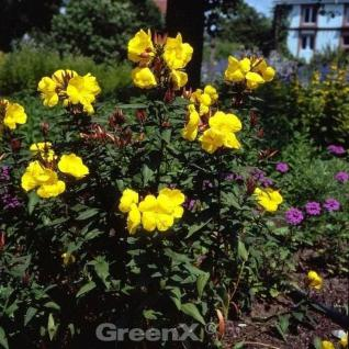 Nachtkerze Frühlingsgold - Oenothera fruticosa - Vorschau