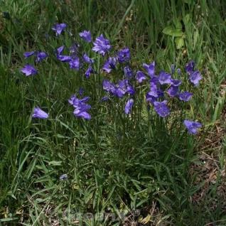 Rundblättrige Glockenblume - Campanula rotundifolia - Vorschau