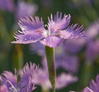 Federnelke Maggie - Dianthus plumarius - Vorschau