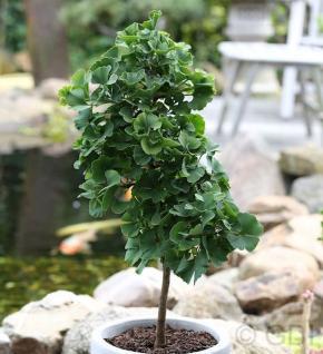 Hochstamm Fächerblattbaum Troll 80-100cm - Ginkgo biloba - Vorschau