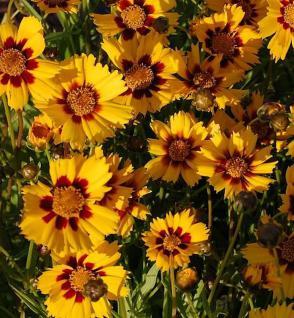 Mädchenauge Babygold - Coreopsis grandiflora - Vorschau